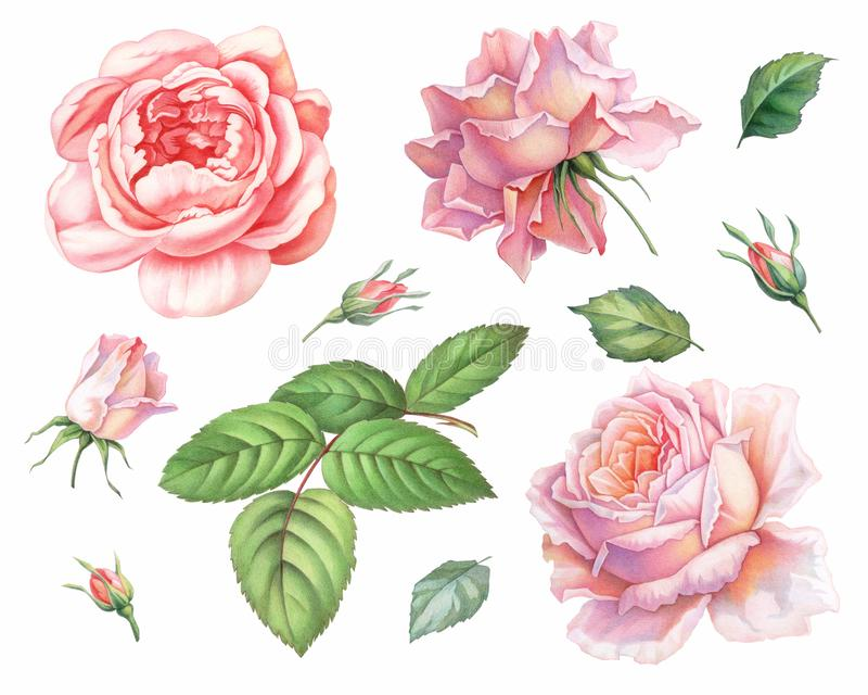 Pink white vintage roses flowers isolated on white background. Colored pencil watercolor illustration. royalty free illustration