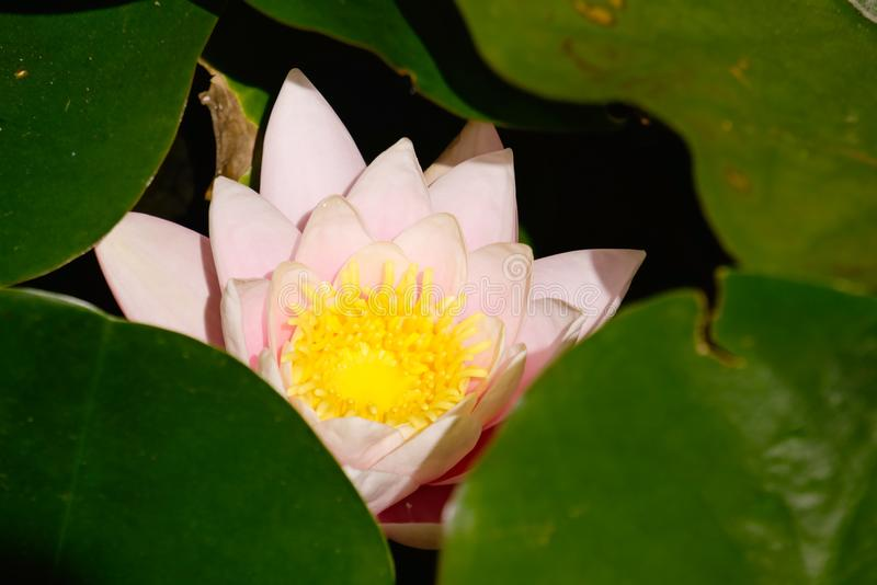 Water Lily in the leaves. stock photos