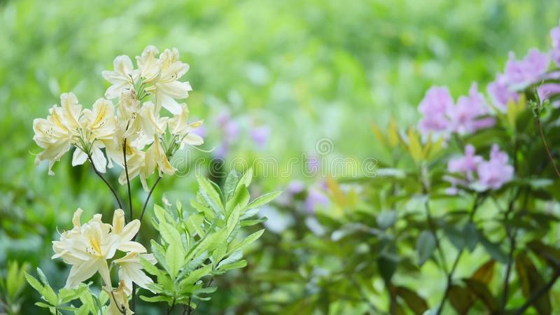 Pink white yellow flowers blooming, Rhododendron. Pink white yellow flowers blooming Rhododendron royalty free stock photos
