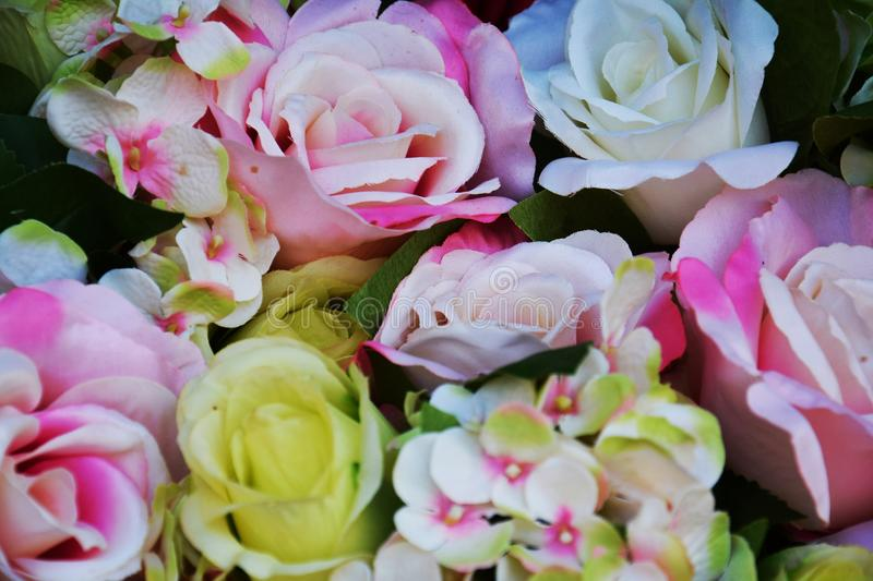 Pink white yellow roses and green leaves flowers, close up stock photography