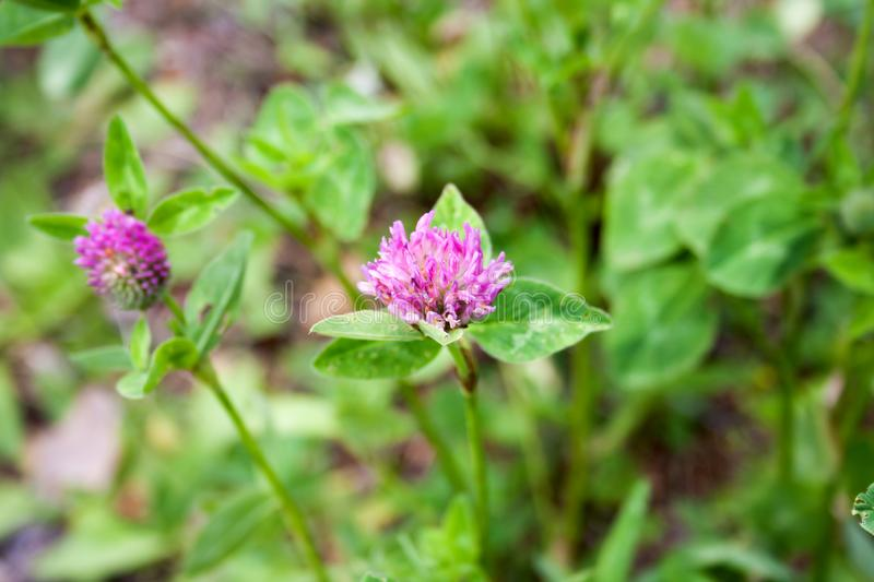 Pink wild clover flowers on grass green background stock photography