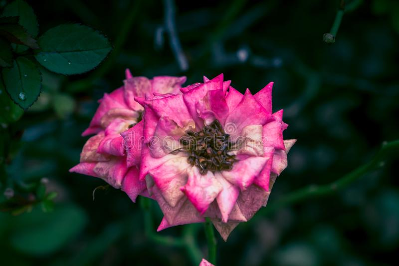 Pink wild flower with green background stock images