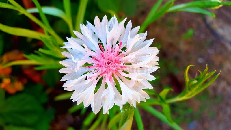 Pink Wild flower. Light pink wild flower faded into a bright pink center royalty free stock image