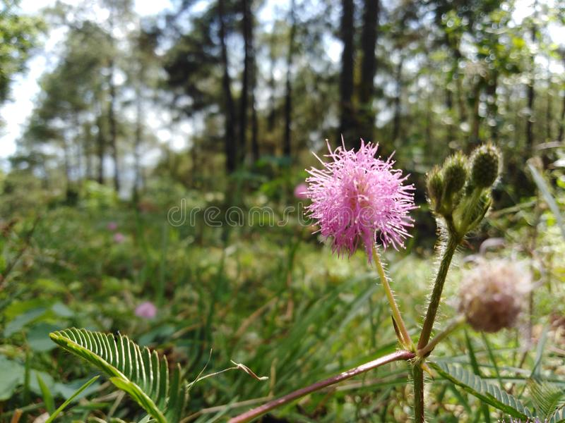 Pink wild flower Mimosa pudica on the forest. Color stock image