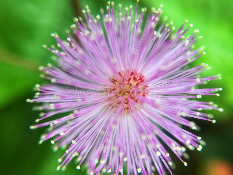 Pink wild flower royalty free stock photography