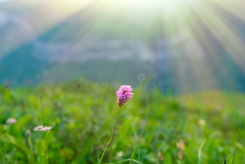 Pink wild flower in the sun beams, minimalism. Scene stock photo