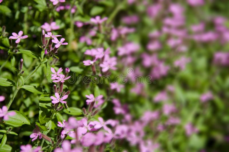 Pink wild flowers royalty free stock image