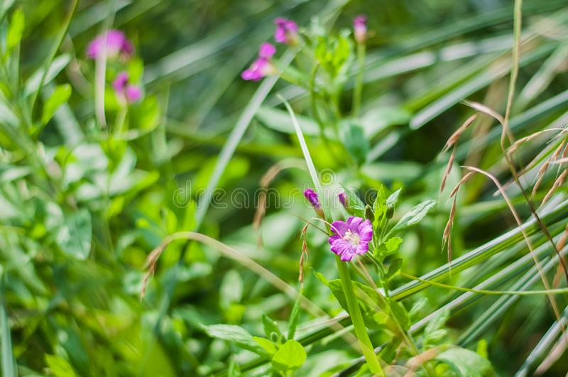 Pink wild flowers on a background of green grass royalty free stock images