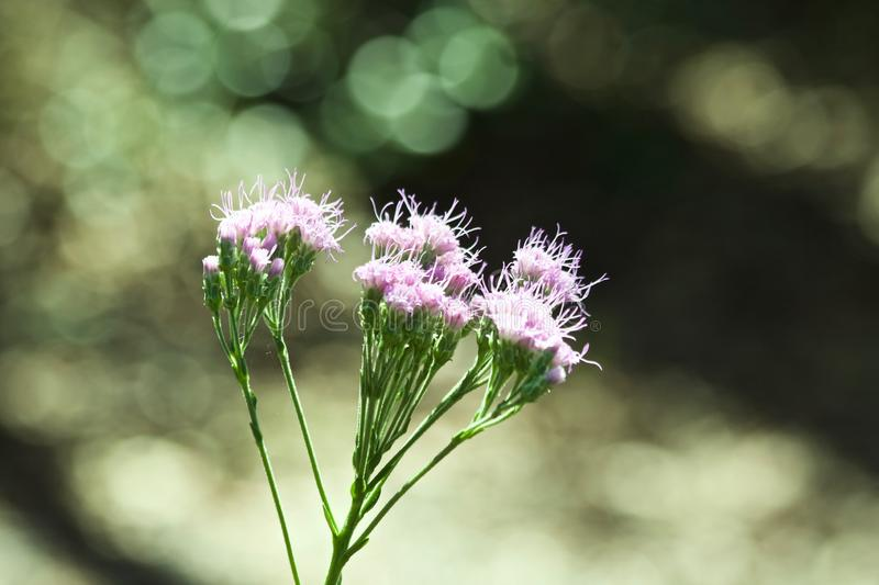 Pink wild flowers in Florida. Growing on a weed stock image