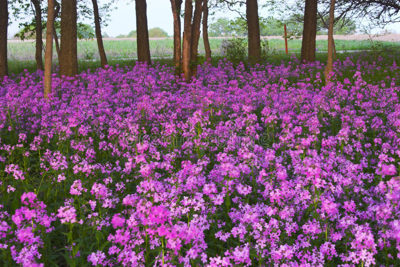 Pink wild flowers and forest. Pink spring wild flowers in the forest understory royalty free stock images