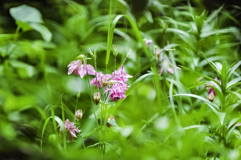 Pink Wild Flowers. In wild grass field against blurry background royalty free stock photos