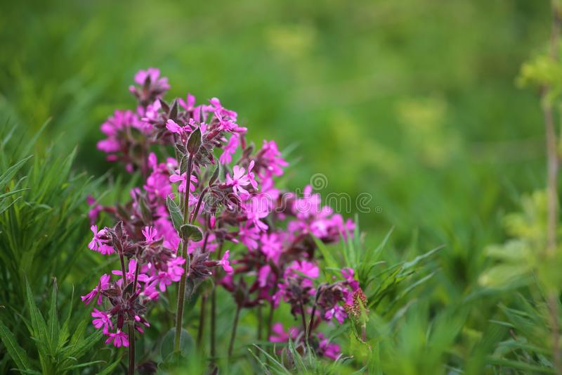 Pink wild flowers. On green grass meadow with copy space stock image