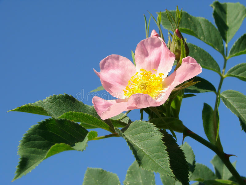 Pink wild rose. Flower against blue sky stock image