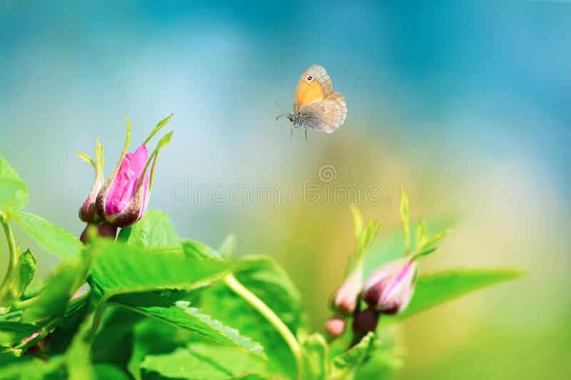 Pink wild rose buds dog rose, rosa canina with flying butterfly on sky background. Spring background royalty free stock images