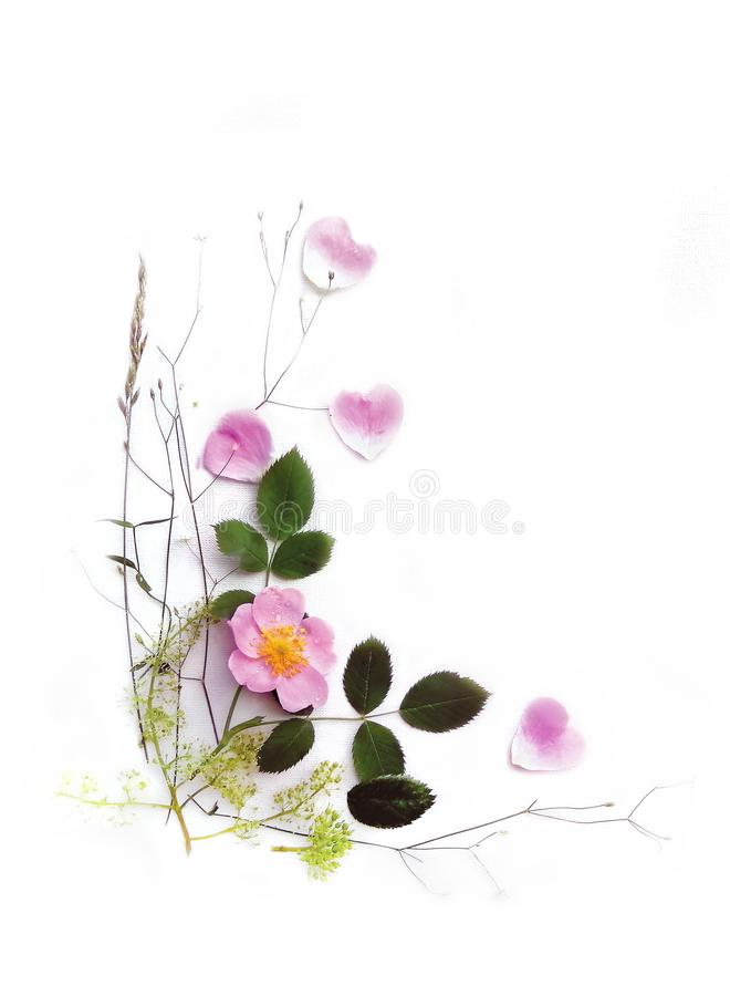 Pink wild rose and leaves on a white canvas background royalty free stock image