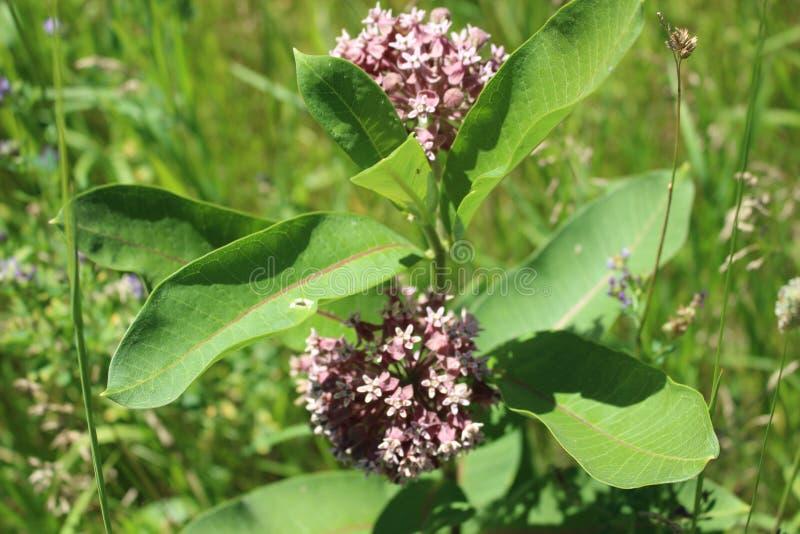 Pink wildflower Milkweed in Ontario Macro Photograph royalty free stock photography