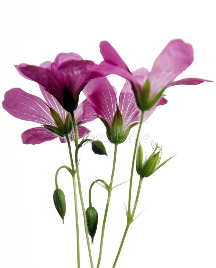 Pink wildflowers royalty free stock image