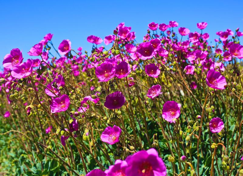Pink wildflowers background royalty free stock images