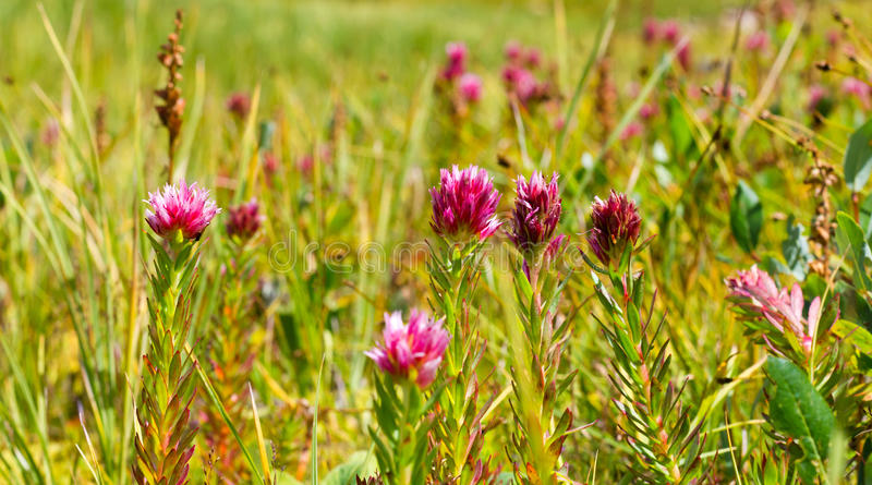 Pink Wildflowers Blooming in a Field stock images