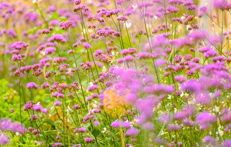 Pink Wildflowers Blossoming In Summer royalty free stock photography