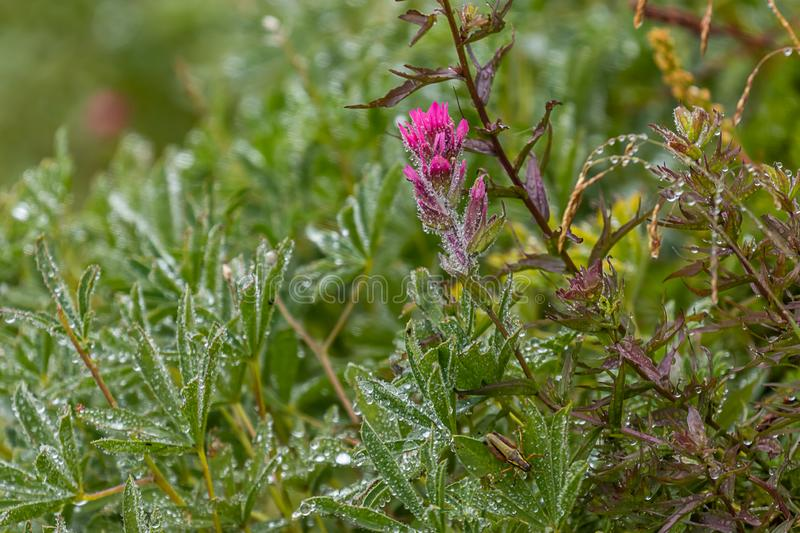 pink wildflowers and dew at meadow in washington royalty free stock photo