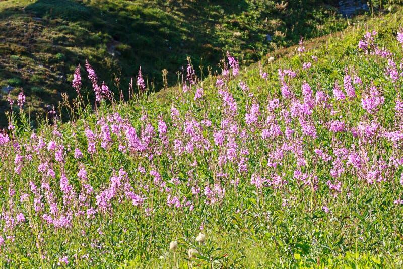 pink wildflowers over alpine meadow near rainier in washington royalty free stock images