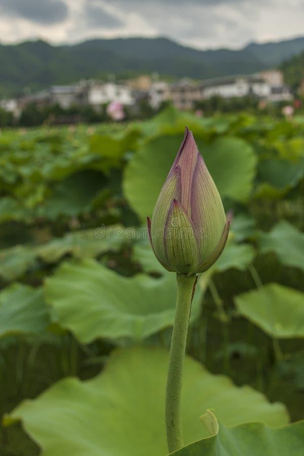 pink xian för knoppporslinlotusblomma royaltyfri bild