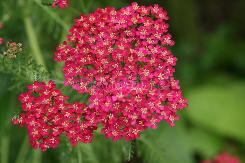 Pink Yarrow flowers royalty free stock images