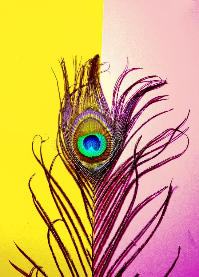 Pink and yellow background on peacock tail,beautiful peacock feathers on pink background, peacock feathers wallpaper ,peacock tail. Bird feather,indian royalty free stock photography