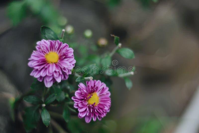 Pink yellow bloomed chrysanthemums stock image