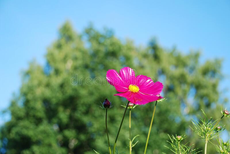 Pink and Yellow Flower stock image