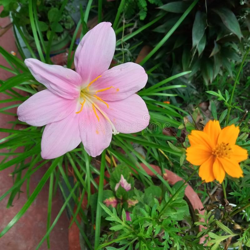 Pink flower in green gress background. Pink and yellow  flower in green gress background royalty free stock photos