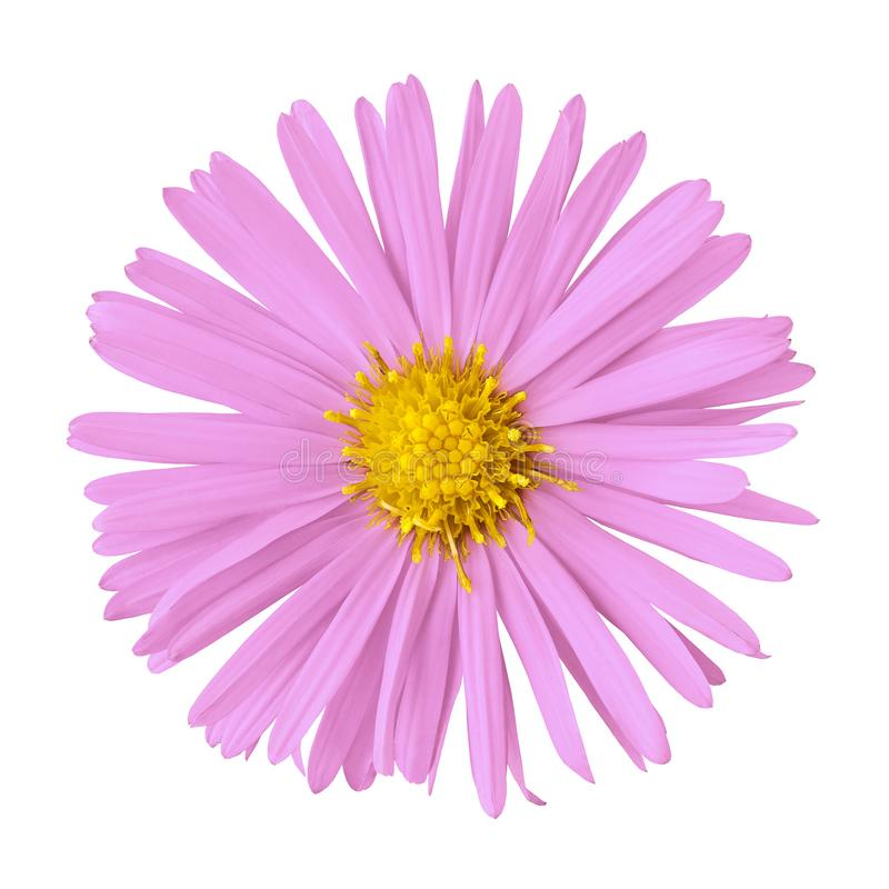 Pink yellow flower isolated on white background with clipping path. Close-up. Nature royalty free stock images
