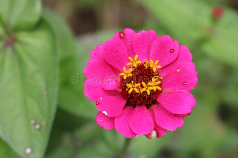 Pink and yellow flower royalty free stock images