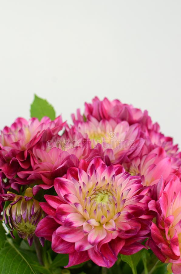 Pink and yellow dahlia flower on a white background royalty free stock photos