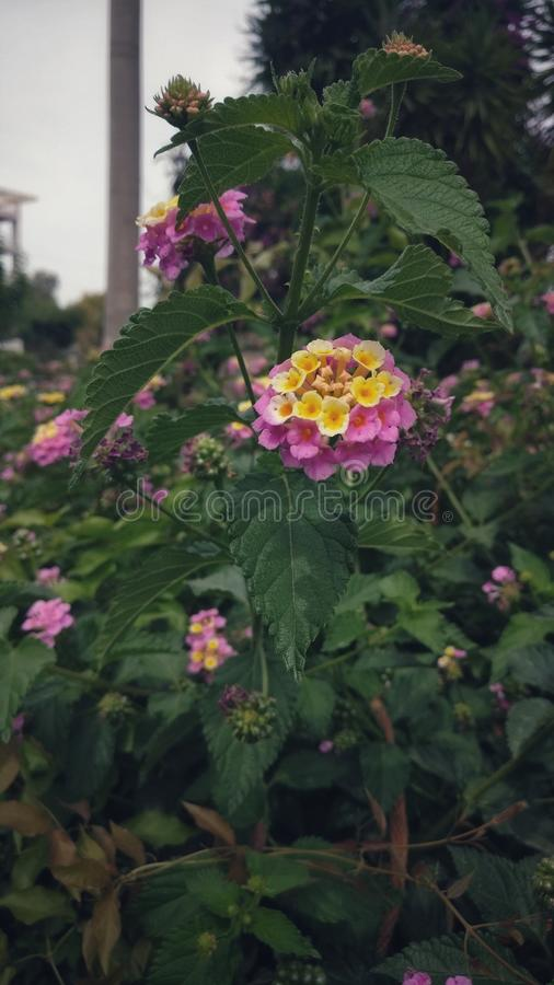 Pink Yellow flowers royalty free stock images