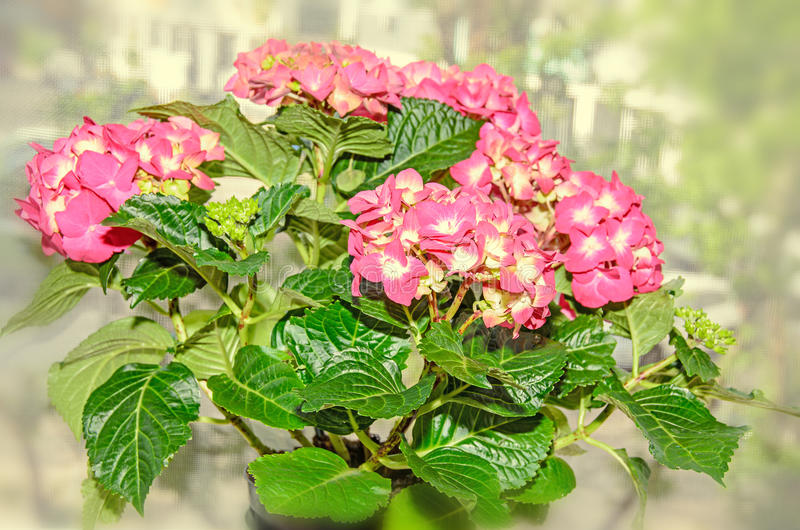 Pink with yellow hydrangea flowers hortensia petals close up stock download pink with yellow hydrangea flowers hortensia petals close up stock image image of mightylinksfo