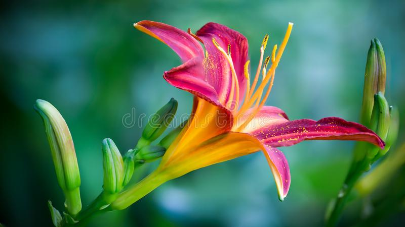 Pink and Yellow Lily Flower in Closeup Photo stock images