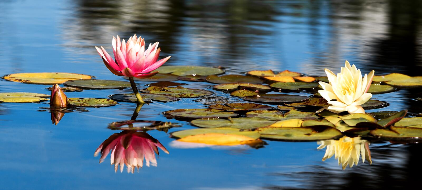 Pink and yellow Lotus with leafs water lily, water plant with reflection in a pond against blue ski. With trees stock photos