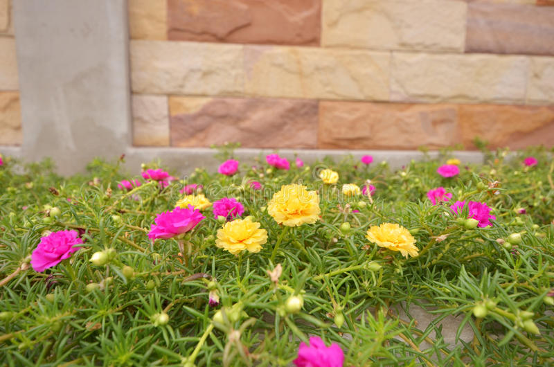 Pink and yellow moss rose flowers with leaves royalty free stock images