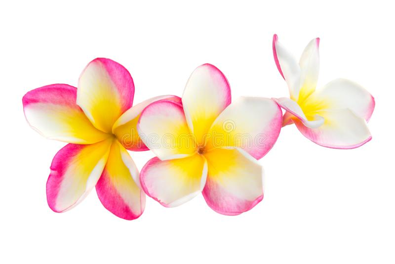 Pink and yellow plumeria flowers royalty free stock photo