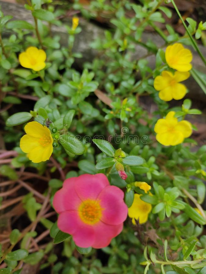 Pink and yellow portulaca flower stock image
