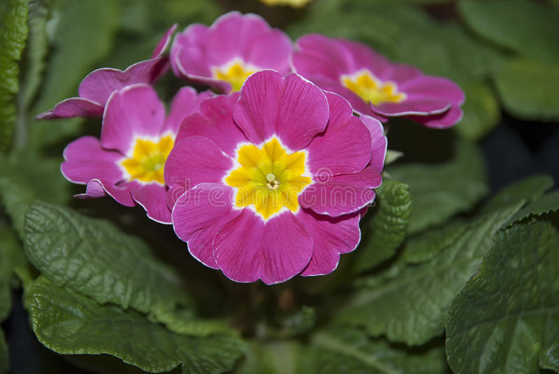 Pink yellow primrose close up royalty free stock photography