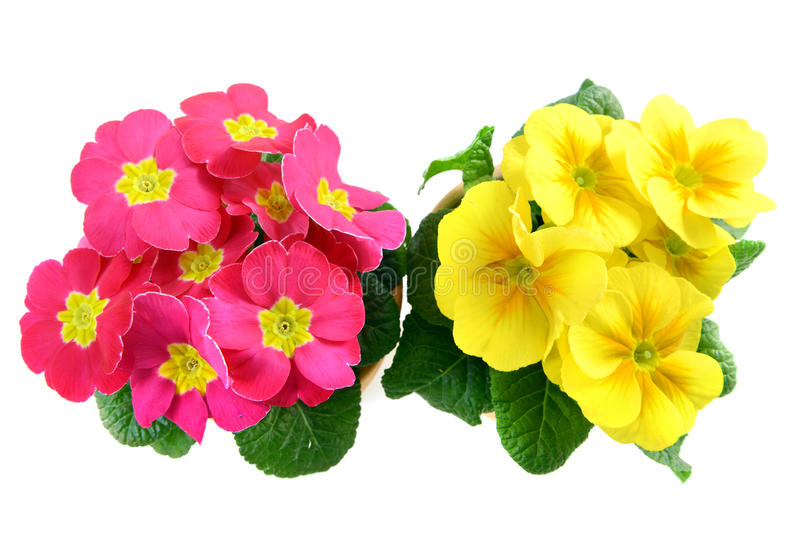 Pink and yellow primrose flower frame stock photo image of leaf download pink and yellow primrose flower frame stock photo image of leaf isolated mightylinksfo