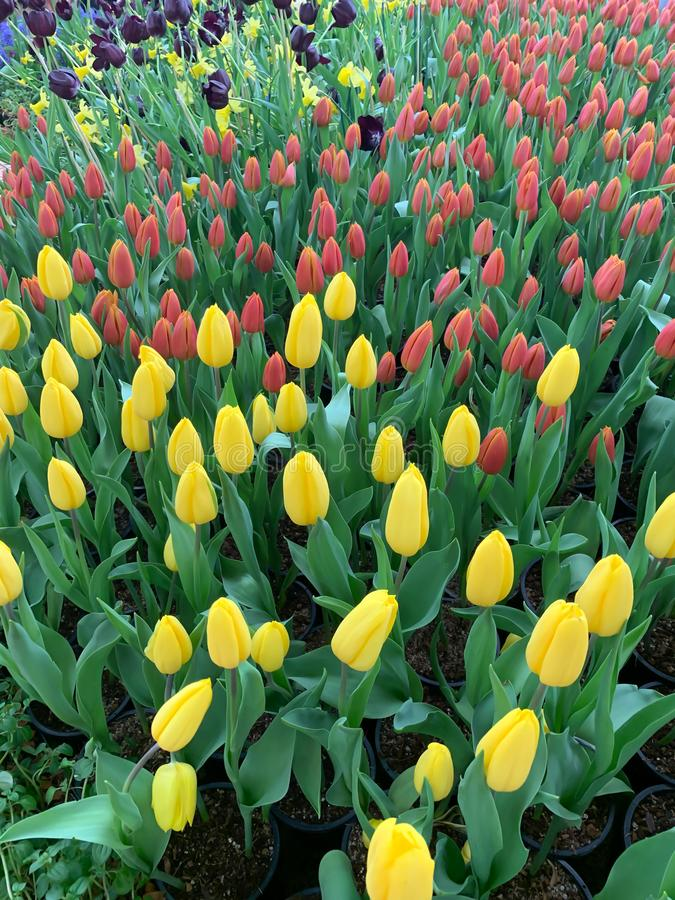 Pink yellow and purple tulip display royalty free stock photo