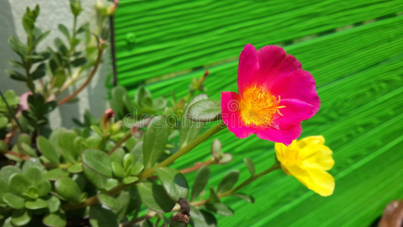 Pink and Yellow purslane flowers and green fence stock photos