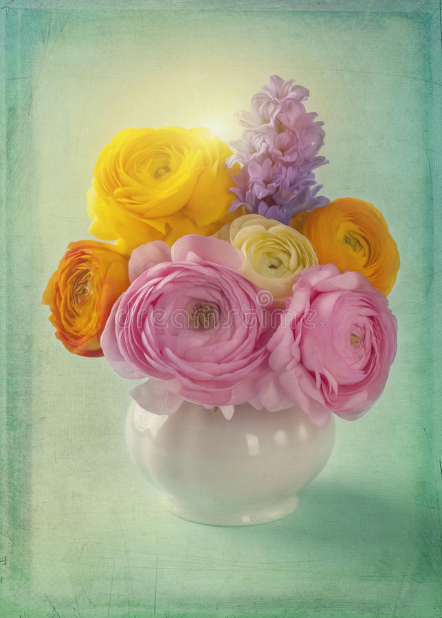 Pink and yellow ranunculus royalty free stock images