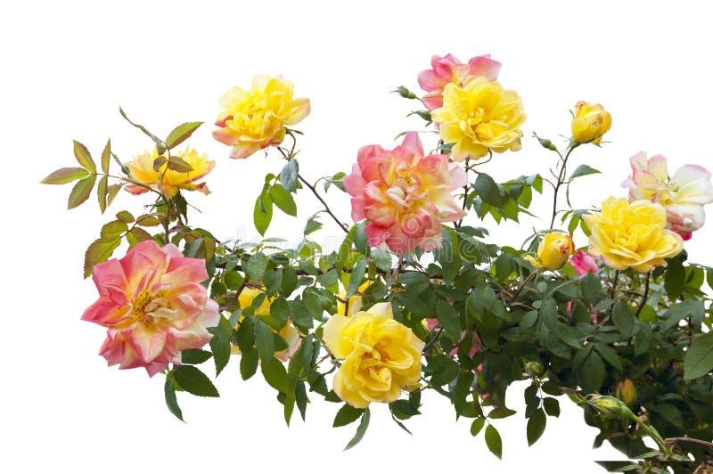 Pink and yellow rose bush stock photos
