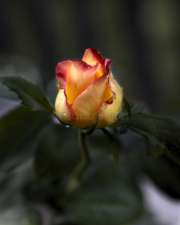 Pink and Yellow Rose green background stock photos