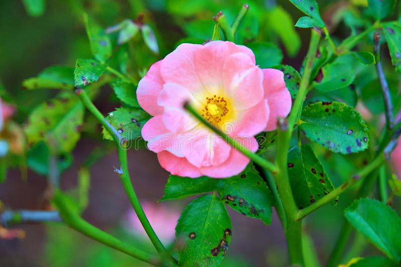 Pink and Yellow Rose royalty free stock photography